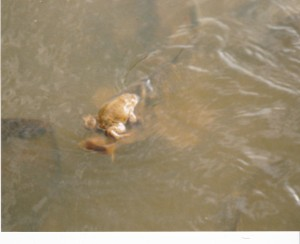 Frog catches a ride on a fish