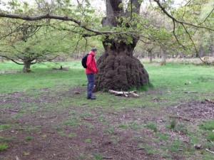 Oak tree shaped like a crinoline skirt