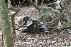 Tortoise on a tortoise