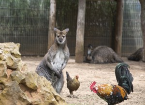 Kangaroo and some chickens
