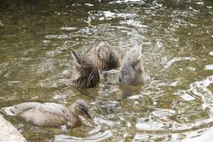Ducks ducking