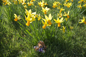 'Shocked' daffodils and Reg