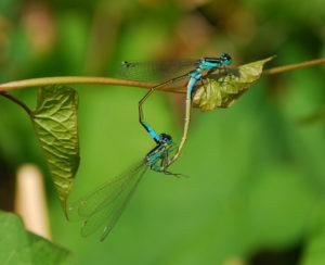 An Extraordinary meeting between dragonflies