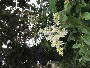 Privet hedge and flowers - the smell of breaking up for school holidays