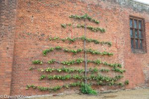 Espaliered pear tree